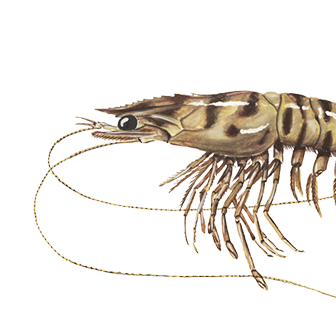 The caramote prawn